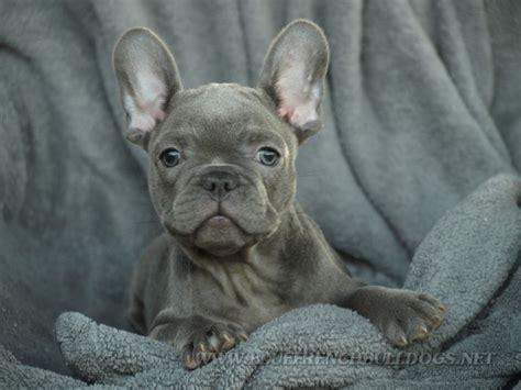 didnt    blue french bulldog