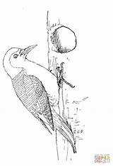 Woodpecker Coloring Pages Bellied Printable Woodpeckers Supercoloring Drawing Animals Patterns Printables Dot sketch template