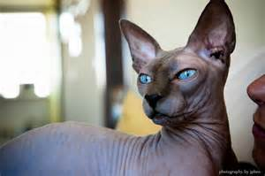 blue sphynx cat the sphynx cats characteristics history and pictures