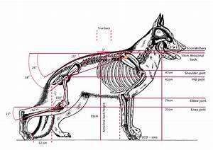 The Hindquarter Of The German Shepherd Dog The German