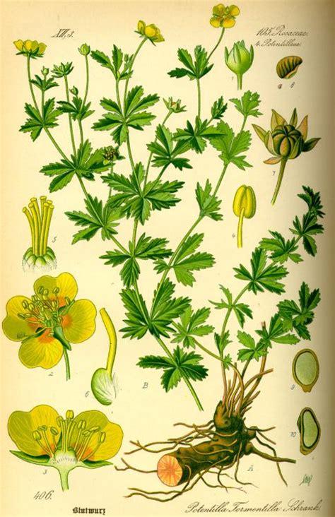 blutwurz heilpflanzen heilkraeuter