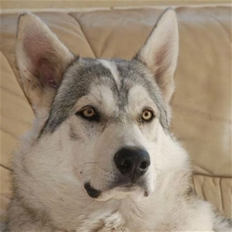 northern inuit dog breed information  pictures