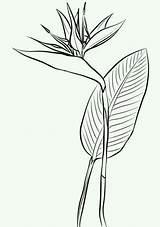 Paradise Bird Coloring Tattoo Drawing Birds Fleurs Printable Plant Broderie Colorare Ave Strelitzia Flor Bible Select Desenho Paraiso Cartoons Animals sketch template