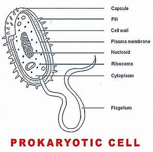 Basic Structure Of A Prokaryotic Cell