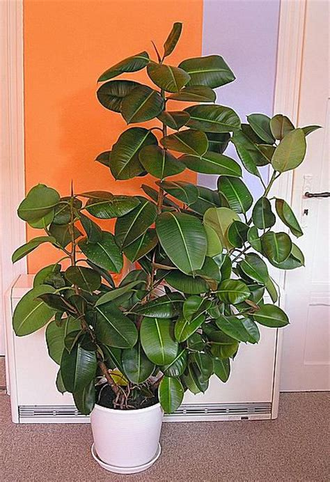 growing rubber plant ficus elastic indoors