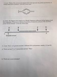 34 The Diagram Depicts Dna That Is Undergoing Replication
