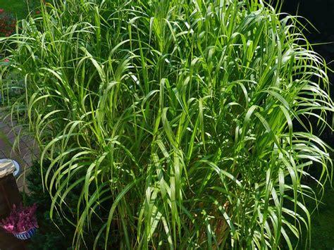 gräser für den garten gr 228 ser grasarten