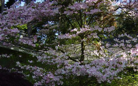 large flowering trees large ornamental trees