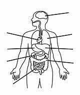 Organs Human Coloring Anatomy Pages Diagram Systems Bulk Bulkcolor sketch template