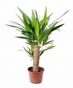 Palmlilie Yucca Palme Pflanzen Und Pflege
