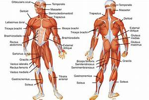 Muscle System Review