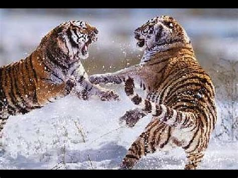 tiger  tigre vrai combat hd youtube