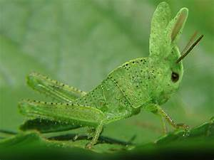 Animals World: Grasshopper/insect/gallery/mowers ...