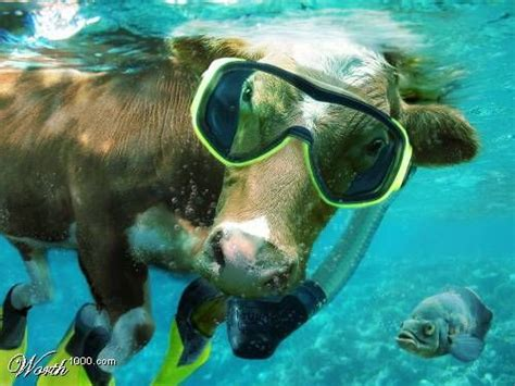 Image result for cow scuba diver