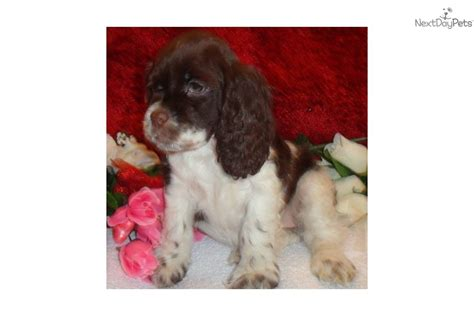 Also, jason is the first boy bred by. Cocker Spaniel puppy for sale near Colorado Springs, Colorado | b8a30769-8061