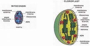 Semblances I Difer U00c8ncies Entre Mitocondris I Cloroplasts