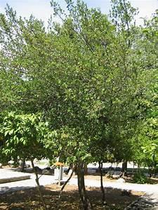 Baum Mit Roten Beeren : mediterran8 baum strauch mit roten beeren rhamnus alaternus baumkunde forum ~ Markanthonyermac.com Haus und Dekorationen