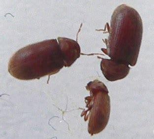 insectes cuisine vrillettes du ou de bibliothèque notre planete info
