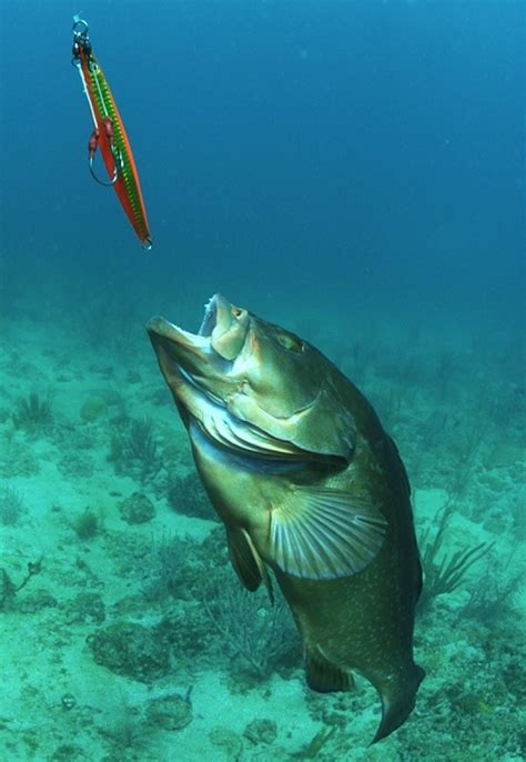 red grouper chases jig jason arnold drowning worms