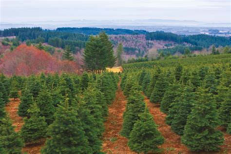 oregon christmas tree growers oregon s tree industry gets ready for a record season portland monthly