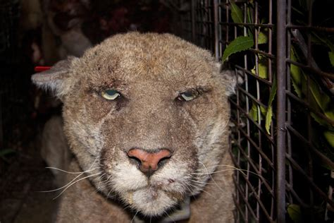 slideshow poisoned griffith park mountain lion p