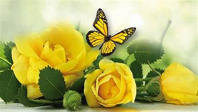 Yellow Rose Wallpapers Roses
