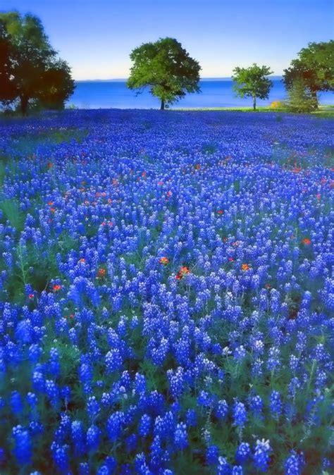 texas bluebonnets victoria amazing places