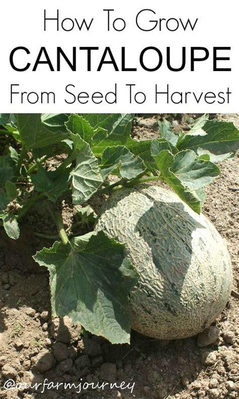 how to grow cantaloupe 54 best veg cantaloupe images on pinterest growing cantaloupe cantaloupe and healthy eating