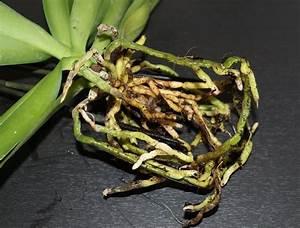 Rempoter Une Orchidee : les racines d 39 une orchid e qui pourrissent entretien des ~ Mglfilm.com Idées de Décoration