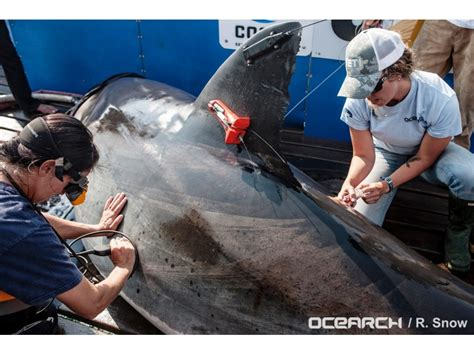 katharine  great white shark returns  florida