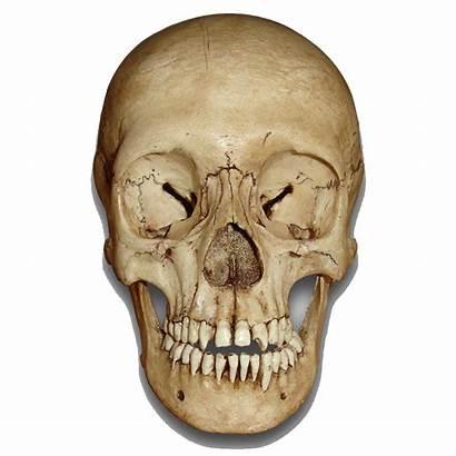 Skull Transparent Head Skeleton Skulls Museum Clipart