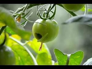 Schädlinge Im Garten : gr ne raupen auf tomaten sch dlinge im garten youtube ~ A.2002-acura-tl-radio.info Haus und Dekorationen