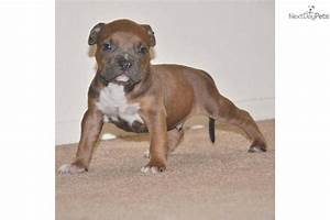 American Pit Bull Terrier puppy for sale near Orange ...