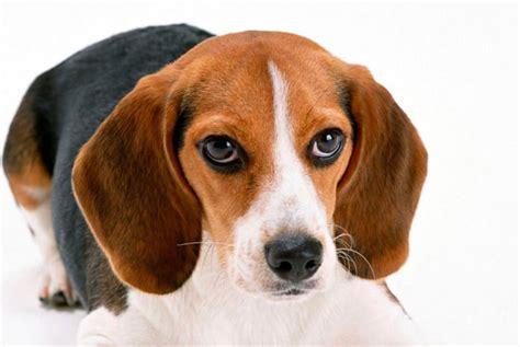 beagle harrier carattere  informazioni sulla razza canina
