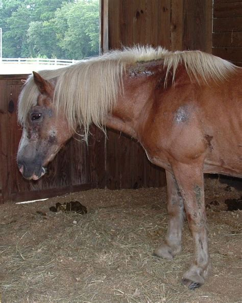 horse founder laminitis foundered holistichorse feeding care cb