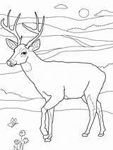 Coloring Pages Deer Printable Whitetail Adult Deers sketch template