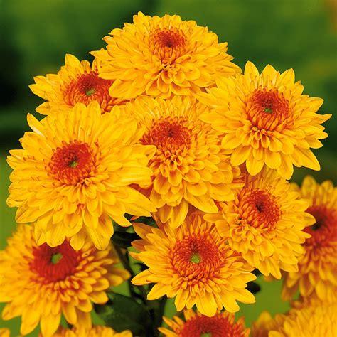 Garten Chrysantheme Kaufen by Garten Chrysanthemen Beppie Bronce Kaufen Bei