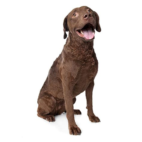 chesapeake bay retriever see description and pictures of