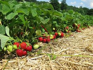 Ab Wann Erdbeeren Pflanzen : erdbeeren funck bayern ~ Eleganceandgraceweddings.com Haus und Dekorationen