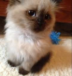 do ragdoll cats shed my friends new baby kitten cat animal and ragdoll cats