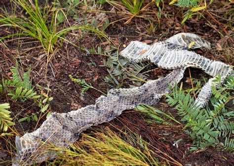rattlesnake shed skin rattle speed of a plant green west in the