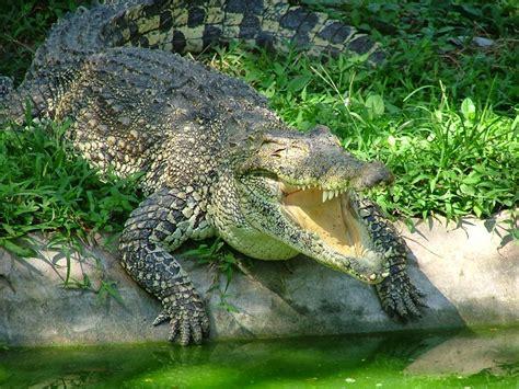 buaya hewan reptil foto gratis  pixabay