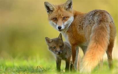 Fox Mama Kit Animal Wallpapers Background 1920