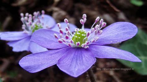 fiori selvatici viola in nome dei fiori erba trinit 224 fiori primaverili viola e