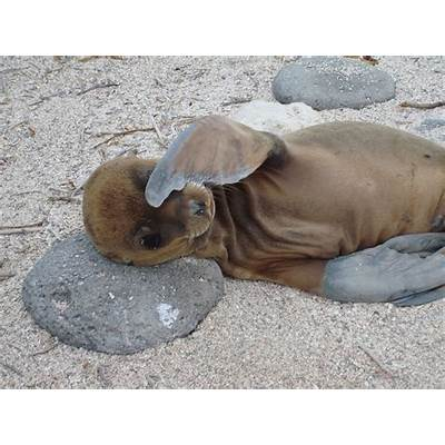 The Cuties of the Archipelago: Galapagos Sea Lion Pups