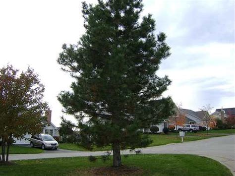 Fast Growing Evergreen Trees For Your Garden