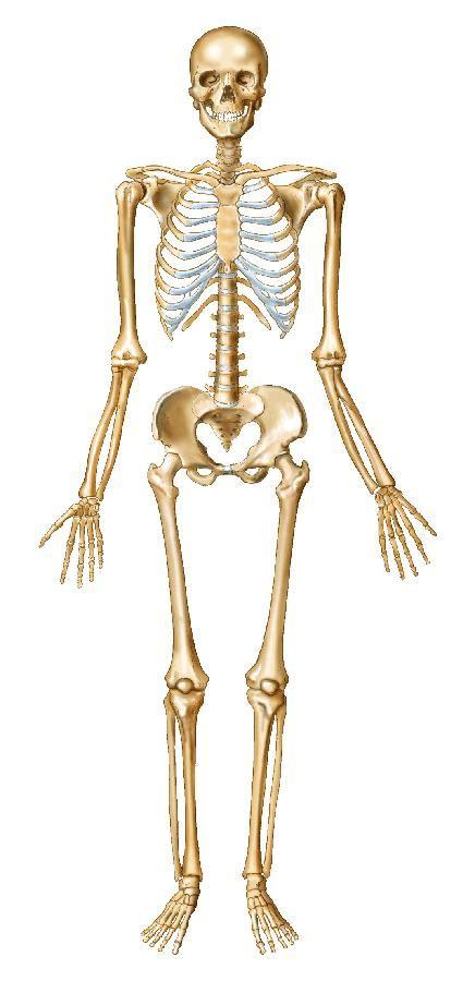Printable Diagram Of Skeletal System 206 Bones
