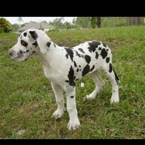 Harlequin Great Dane puppy | Great Dane | Pinterest