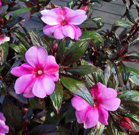 GardensOnline: Impatiens 'New Guinea Hybrids