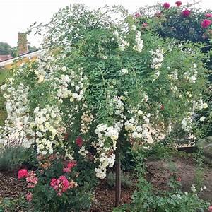 Rosen Düngen Im Frühjahr : christine h l ne rosen online kaufen im rosenhof schultheis rosen online kaufen im rosenhof ~ Orissabook.com Haus und Dekorationen